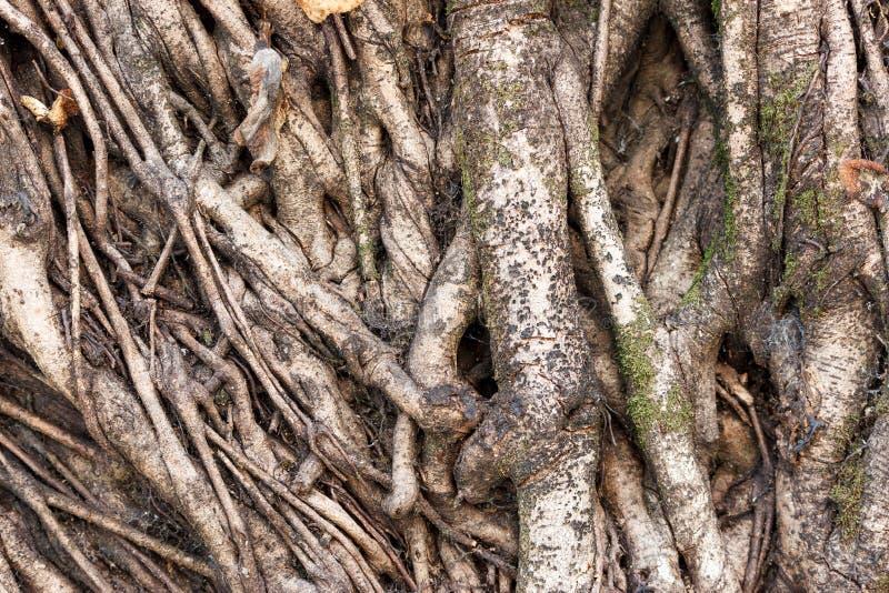 Raíces del tronco de árbol imágenes de archivo libres de regalías