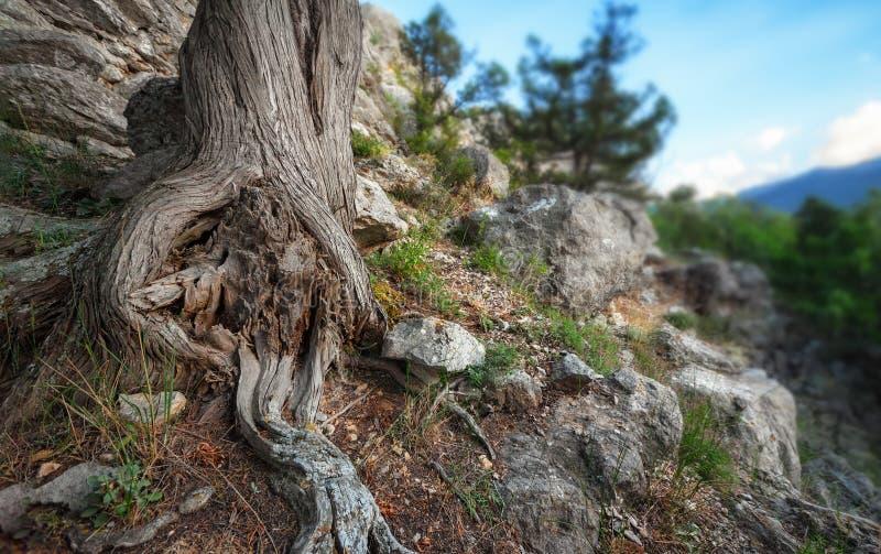 Raíces del tronco de árbol en la montaña entre las rocas fotografía de archivo