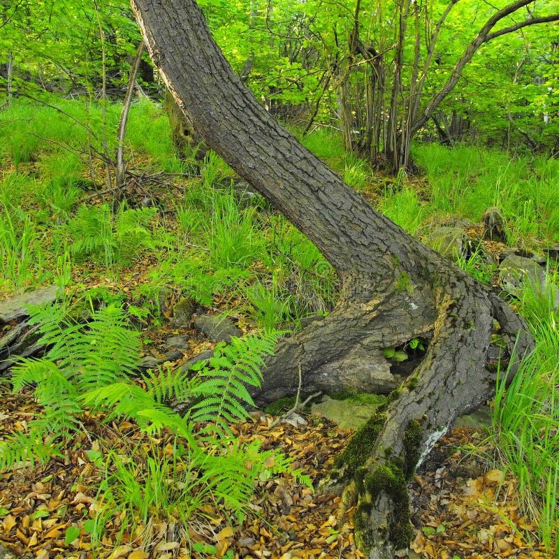 Raíces enredadas pesadas de árboles en parque, marrón oscuro o corteza gris en tronco, hierba verde fresca y tallos del helecho imagen de archivo libre de regalías