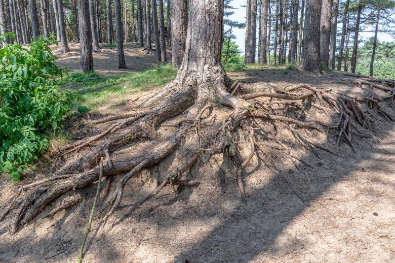 Raíces expuestas del árbol foto de archivo libre de regalías