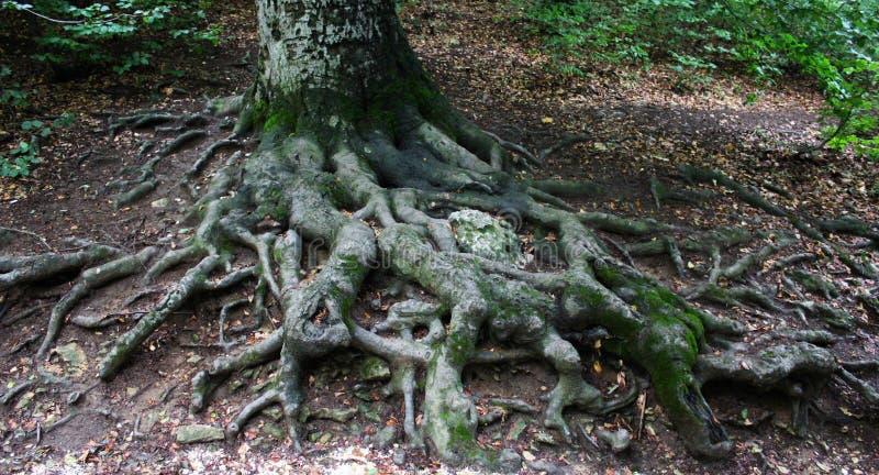Raíces grandes de un árbol fotografía de archivo