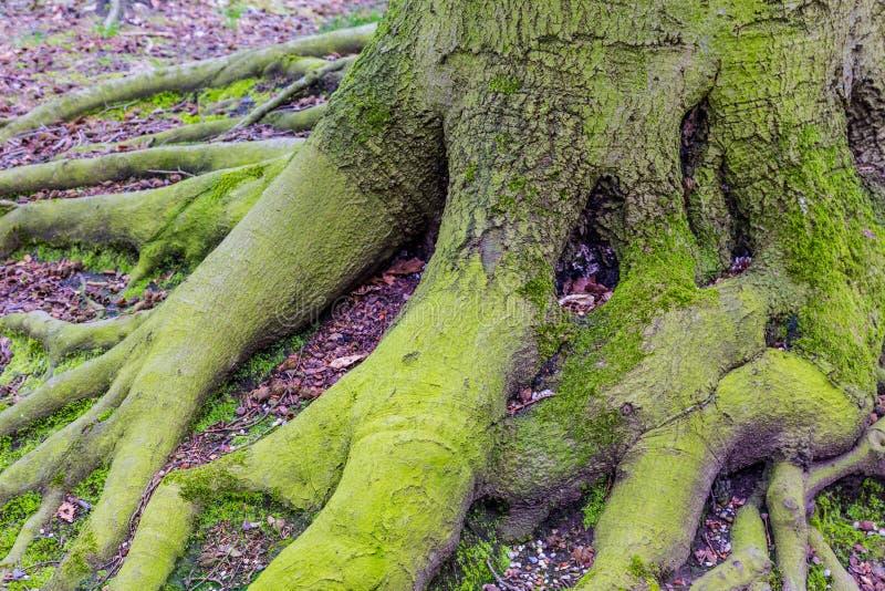 Raíces grandes del árbol de una haya grande vieja foto de archivo