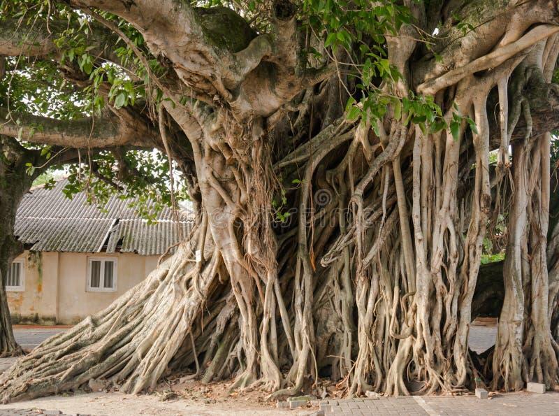 Raíces grandes del baniano en la ciudad foto de archivo libre de regalías