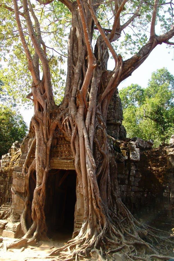 Raíces grandes en Angkor Wat imagen de archivo libre de regalías