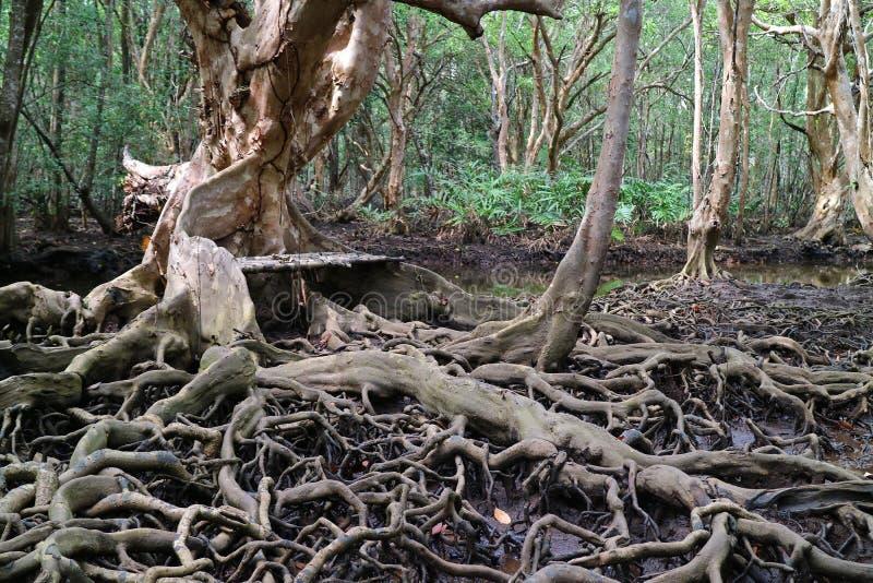 Raíces increíbles del árbol en el bosque del mangle, Tailandia fotografía de archivo libre de regalías