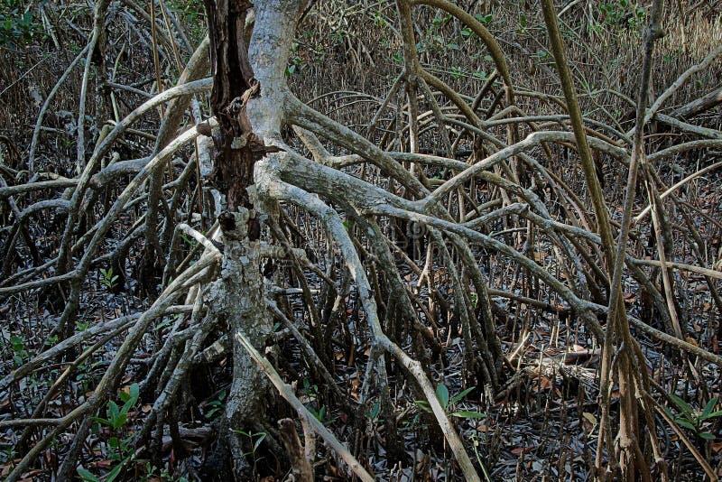 Raíces rojas del mangle en los marismas foto de archivo