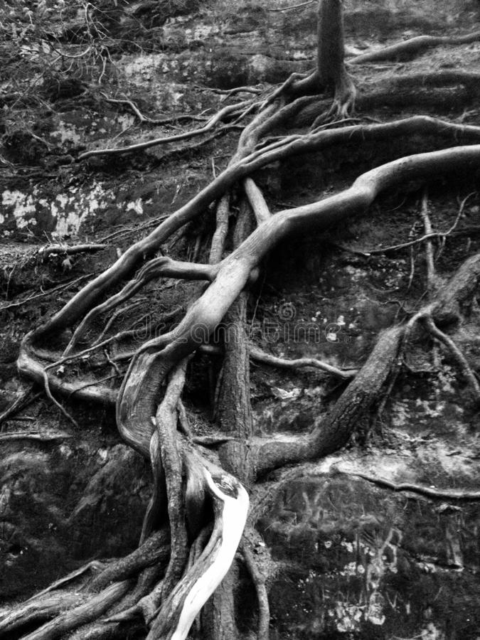 Ra?ces torcidas del ?rbol en el bosque con la pared de la piedra y de la roca fotos de archivo libres de regalías