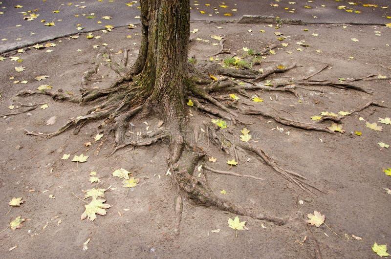 Raíces urbanas del árbol de la yarda imágenes de archivo libres de regalías