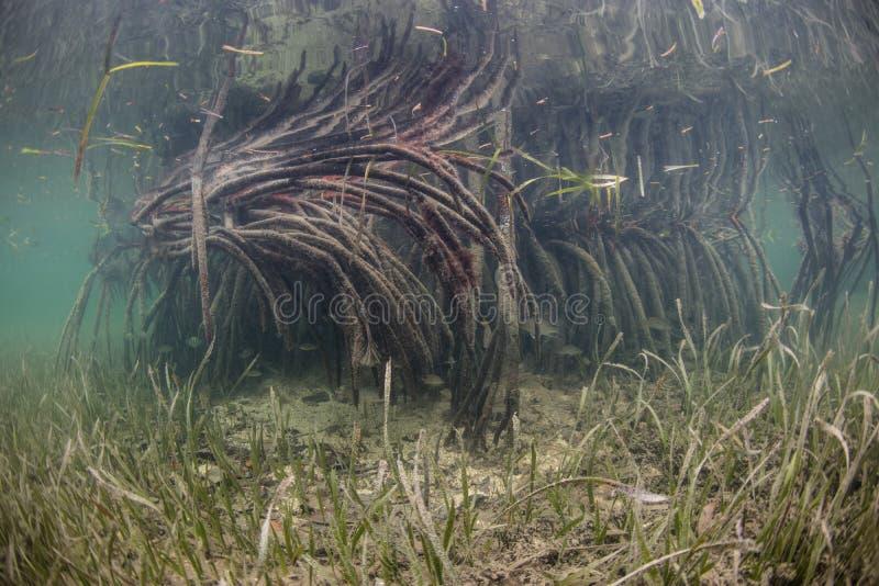 Raíces y Seagrass del mangle imagen de archivo libre de regalías