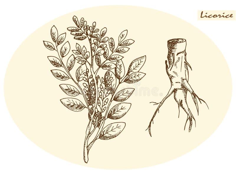 Raíz de regaliz y regaliz libre illustration