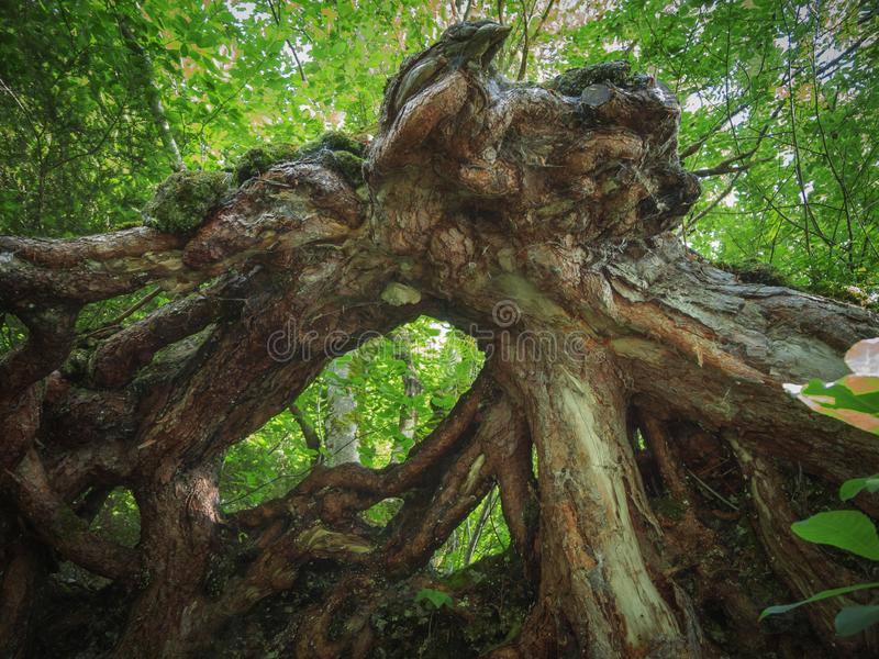 Raíz de un árbol caido fotografía de archivo