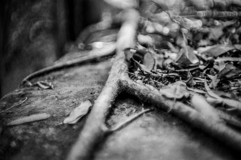 Raíz del árbol que bifurca sobre las rocas cubiertas con la profundidad estrecha caida de las hojas del extracto monocromático de imagenes de archivo