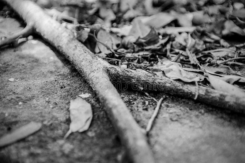 Raíz del árbol que bifurca sobre las rocas cubiertas con la profundidad estrecha caida de las hojas del extracto monocromático de imagen de archivo