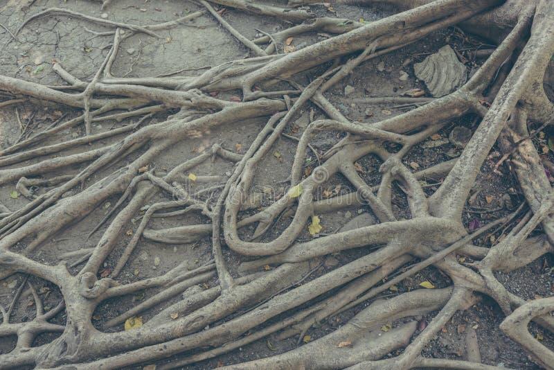 raíz del baniano y hoja seca en la tierra foto de archivo libre de regalías