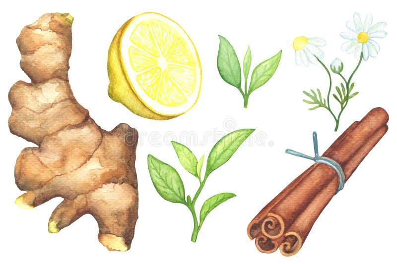Raíz del jengibre, corte del limón, manzanilla, pintura de la acuarela del canela en el fondo blanco stock de ilustración