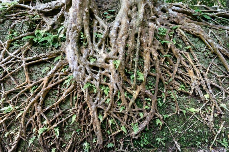 Raíz en forma de corazón del árbol fotos de archivo