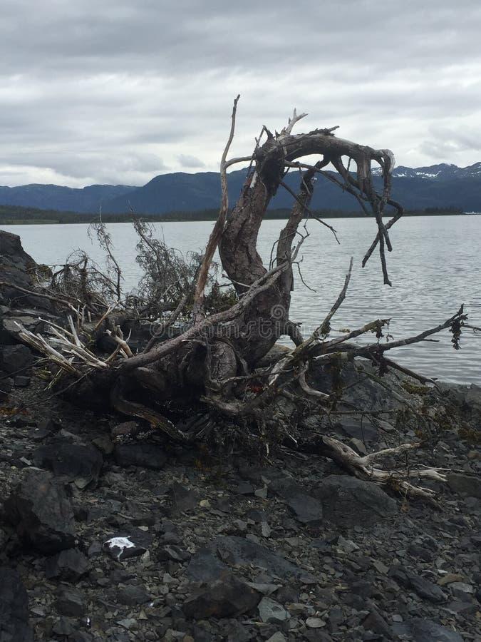 Raíz enredada del árbol en la bahía Alaska de Columbia imágenes de archivo libres de regalías