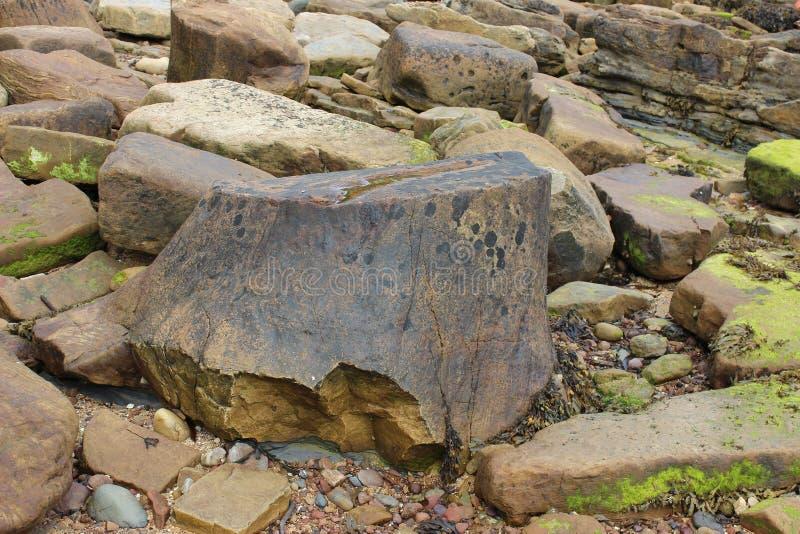 Raíz fósil del árbol en la costa Crail, Fife, Escocia imagen de archivo libre de regalías