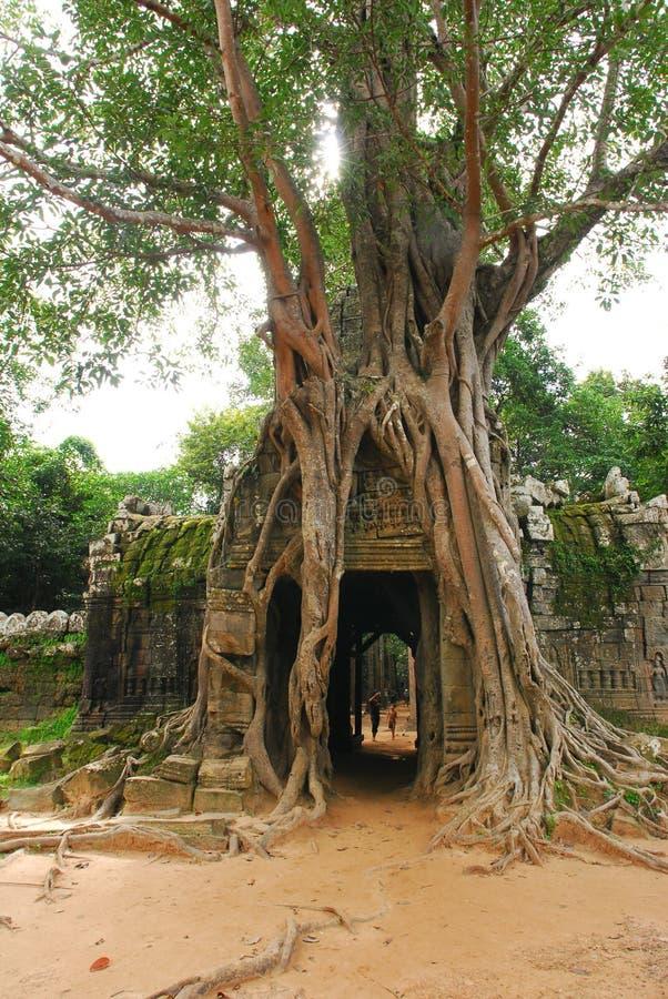 Raíz grande del árbol imagenes de archivo