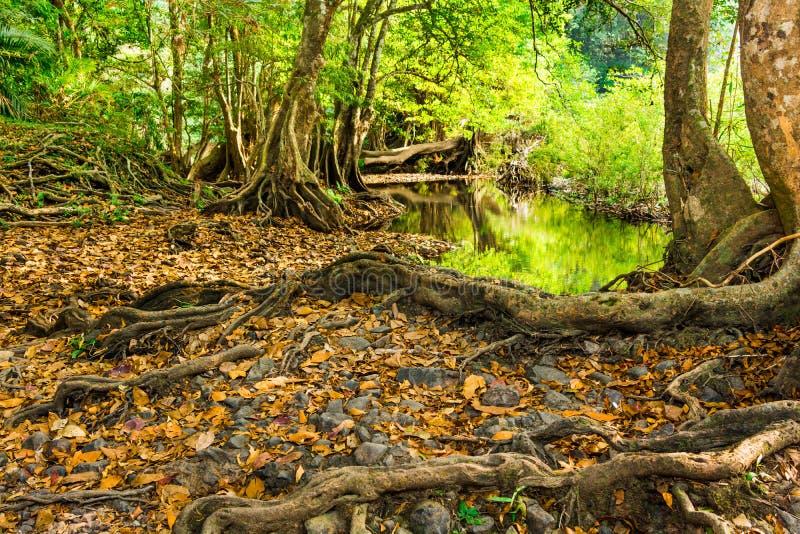 Download Raíz Grande Del árbol En El Bosque Imagen de archivo - Imagen de amazing, cruz: 42432507