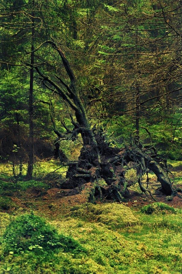 Raíz que sorprende de un árbol caido de la forma de lujo Como una criatura de un cuento de hadas imagen de archivo