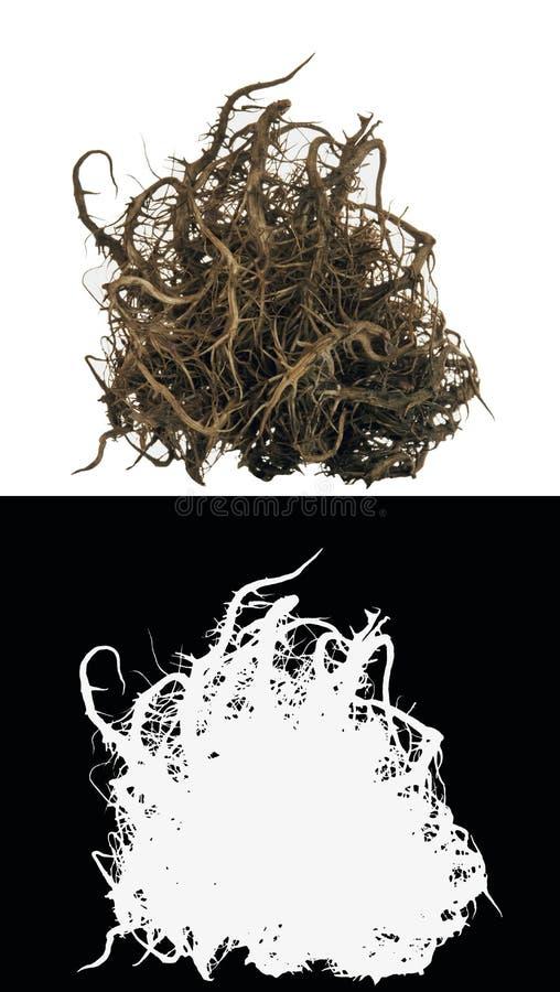 Raíz seca del arbusto imagen de archivo libre de regalías
