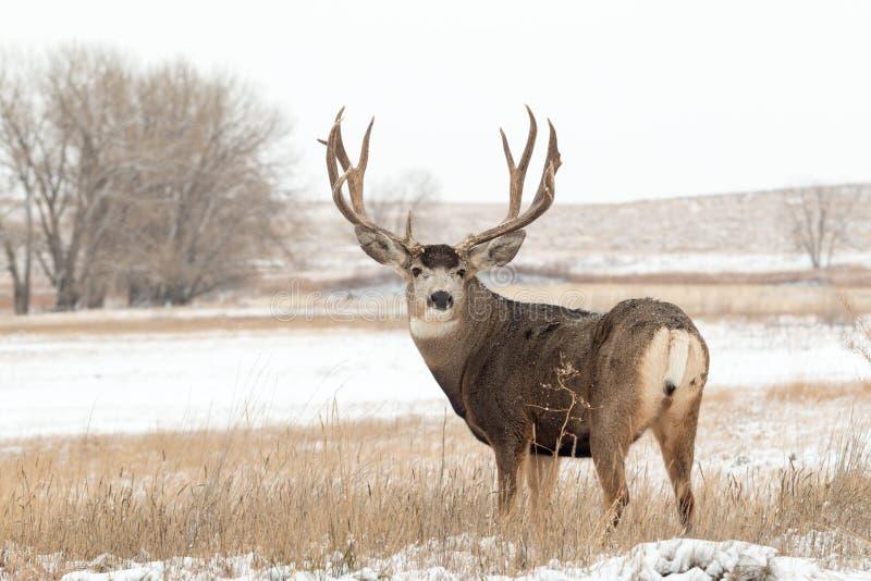Raźna muła rogacza samiec w śniegu zdjęcia royalty free