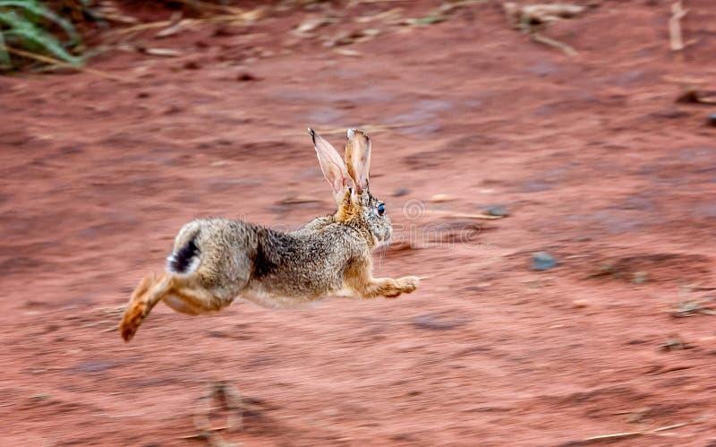 Raźna pętaczki zając & x28; Lepus saxatilis& x29; królika bieg okaleczający w dębniku obrazy stock