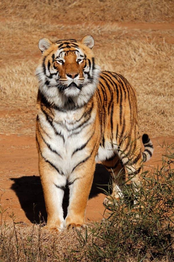 Raźny Bengalia tygrys - India obrazy royalty free