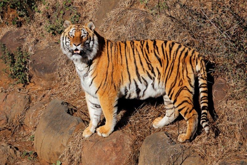 Raźny Bengalia tygrysa Panthera Tigris zdjęcia royalty free