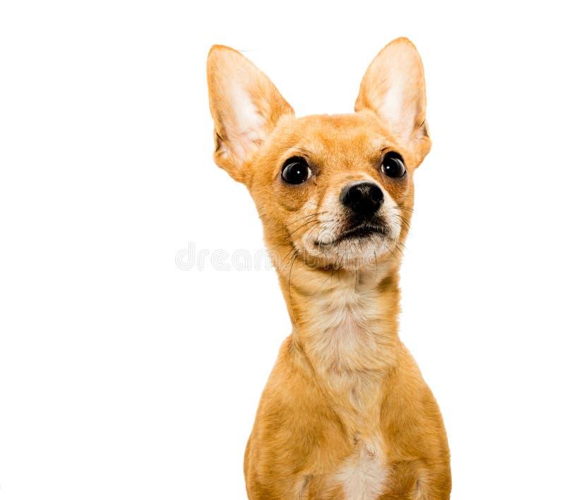 Raźny chihuahua pies - Prawy zdjęcie royalty free