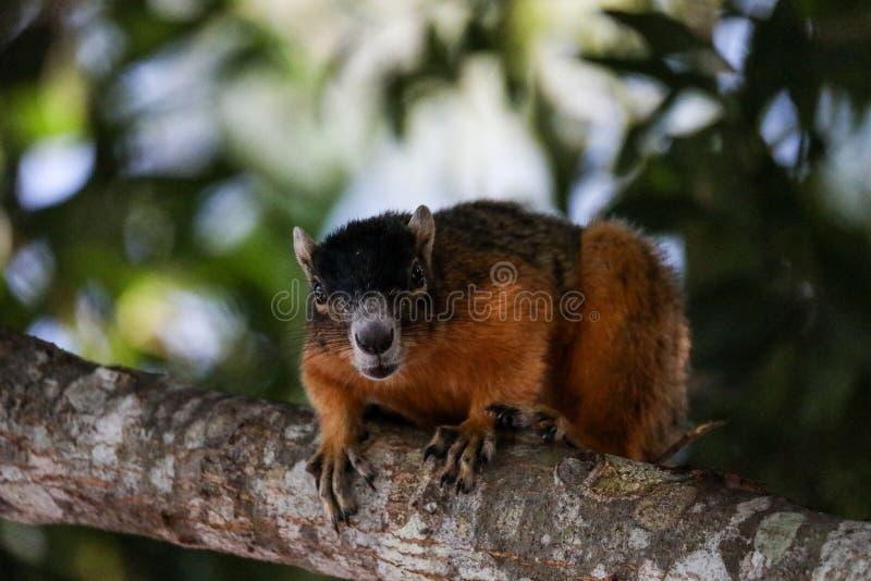 Raźny duży cyprysowy lis wiewiórki Sciurus Niger avicennia obrazy stock