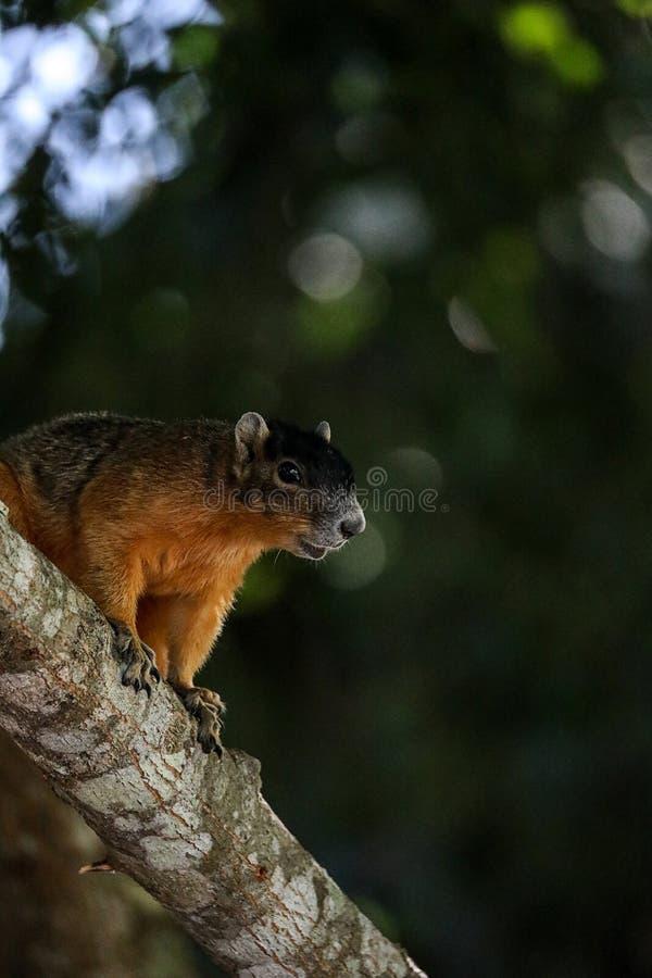 Raźny duży cyprysowy lis wiewiórki Sciurus Niger avicennia obraz stock