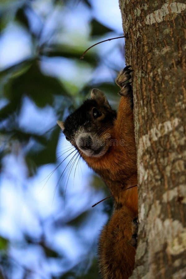 Raźny duży cyprysowy lis wiewiórki Sciurus Niger avicennia fotografia stock