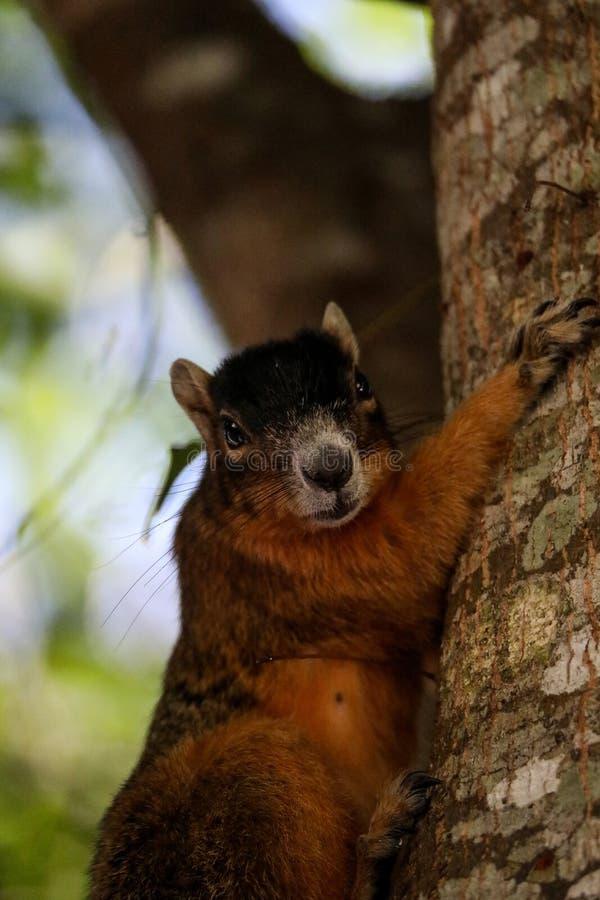 Raźny duży cyprysowy lis wiewiórki Sciurus Niger avicennia obraz royalty free
