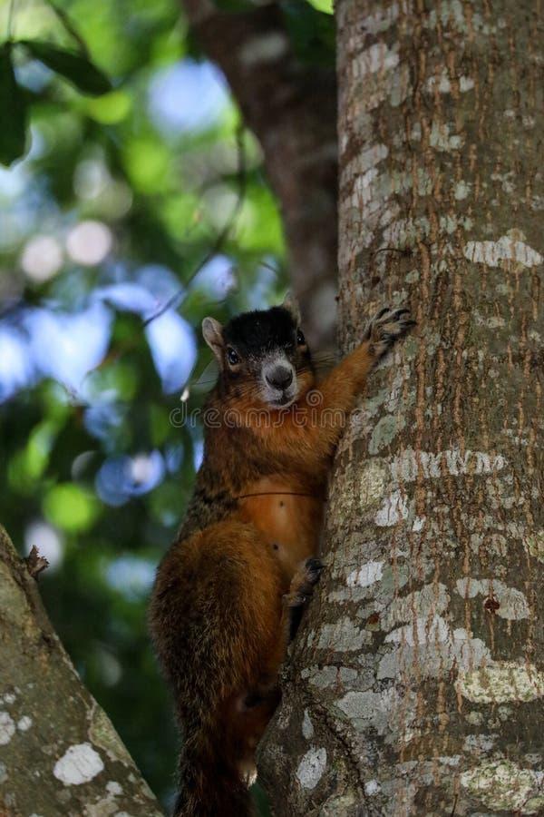 Raźny duży cyprysowy lis wiewiórki Sciurus Niger avicennia zdjęcia stock