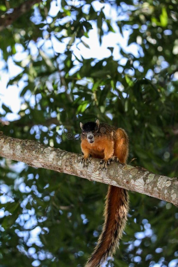 Raźny duży cyprysowy lis wiewiórki Sciurus Niger avicennia zdjęcia royalty free