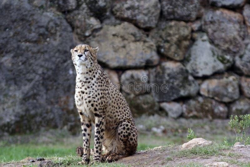 Raźny gepard w parku fotografia royalty free