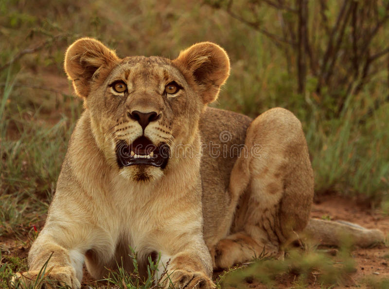 Raźny młody męski lew zdjęcie royalty free