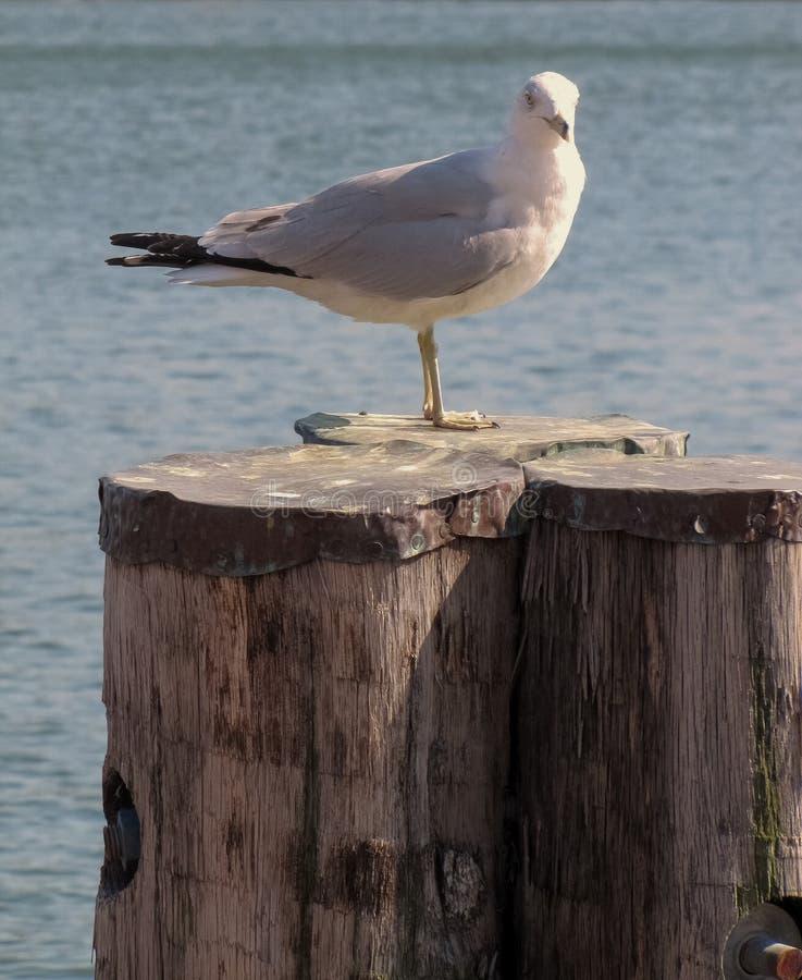 Rażący Seagull w Częściowym świetle obraz royalty free