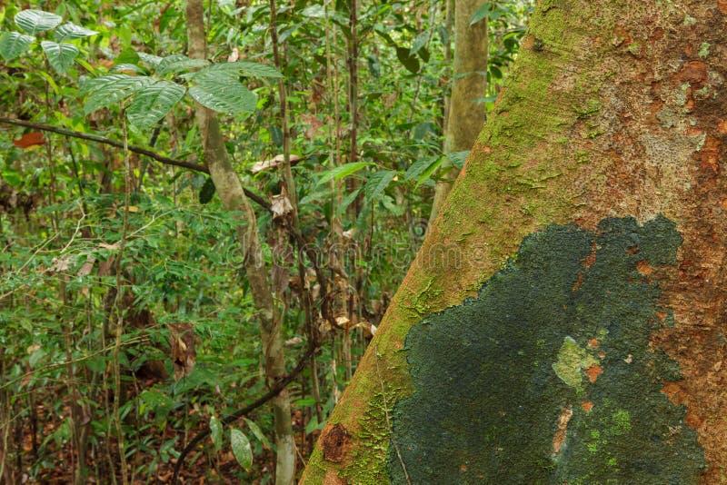 Ra?ces del ?rbol del contrafuerte en selva tropical imagen de archivo libre de regalías
