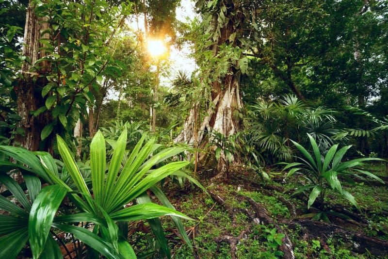Raadselachtige en geheimzinnige regenwouden van Midden-Amerika. Guatema stock afbeeldingen
