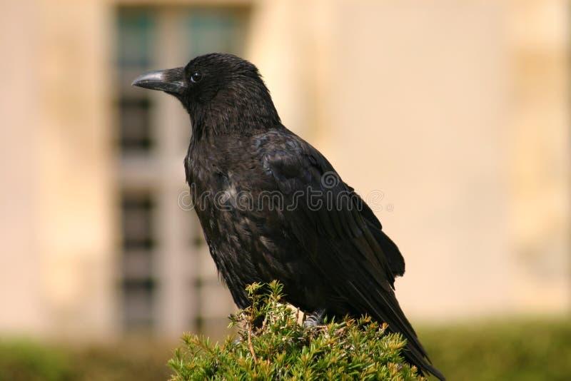 Download Raaf stock foto. Afbeelding bestaande uit raven, vogel, profiel - 38692