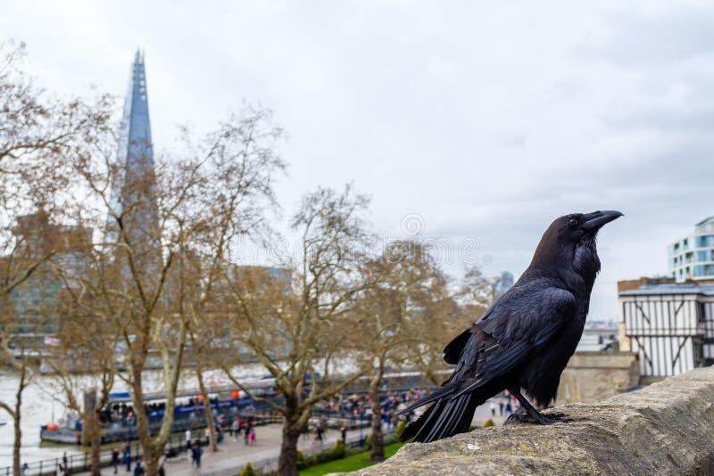 Raaf bij de Toren van Londen royalty-vrije stock foto's