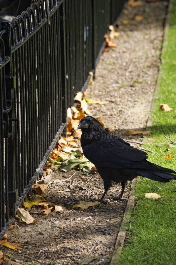 Raaf Bij Toren Van Londen Royalty-vrije Stock Afbeeldingen