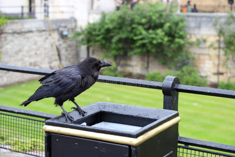 Raaf bij Toren van Londen bij de Vuilnisbak stock fotografie
