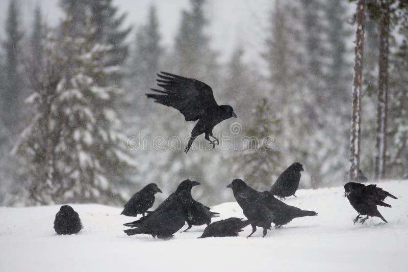 Raaf, Corvus corax royalty-vrije stock fotografie