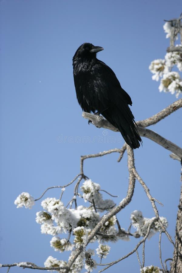 Raaf, Corvus corax royalty-vrije stock foto