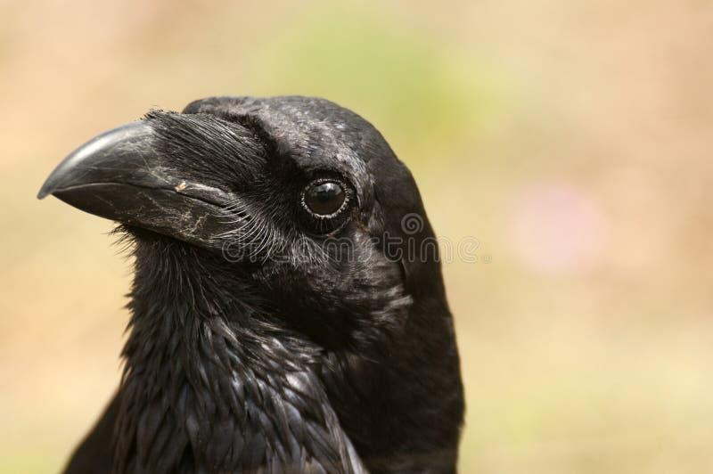 Raaf - Corvus corax, ogen, hoofd en bek stock foto