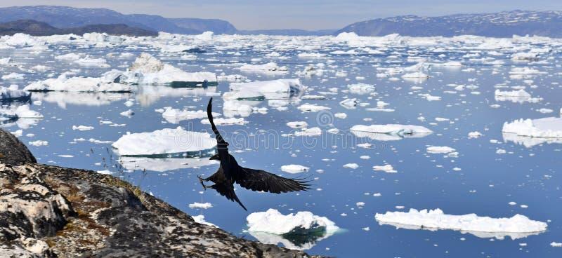 Raaf en ijsbergen Aard en landschappen van Groenland stock afbeeldingen